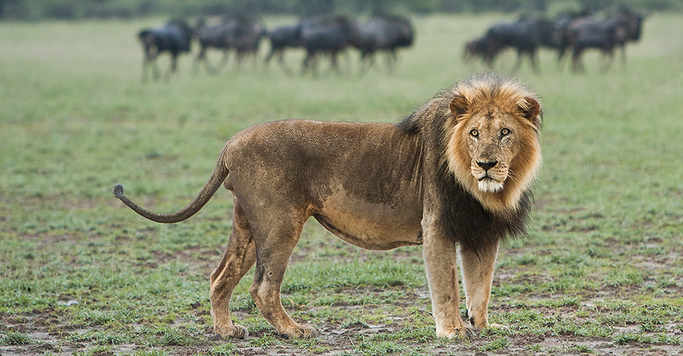 Botswana-Classic-Photo-lion-Grant-Atkinson-