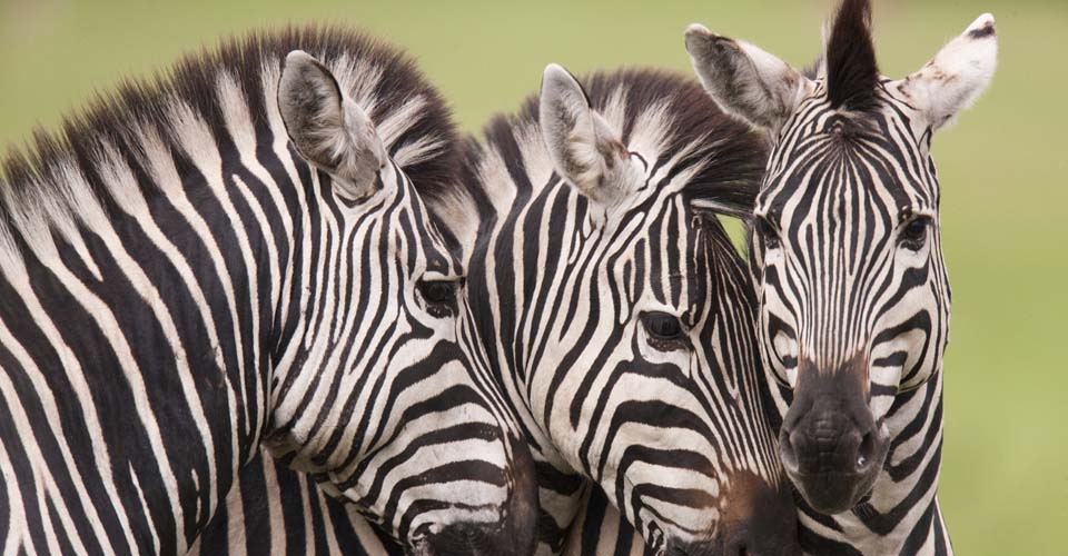 Botswana-Classic-Photo-zebra-poliza