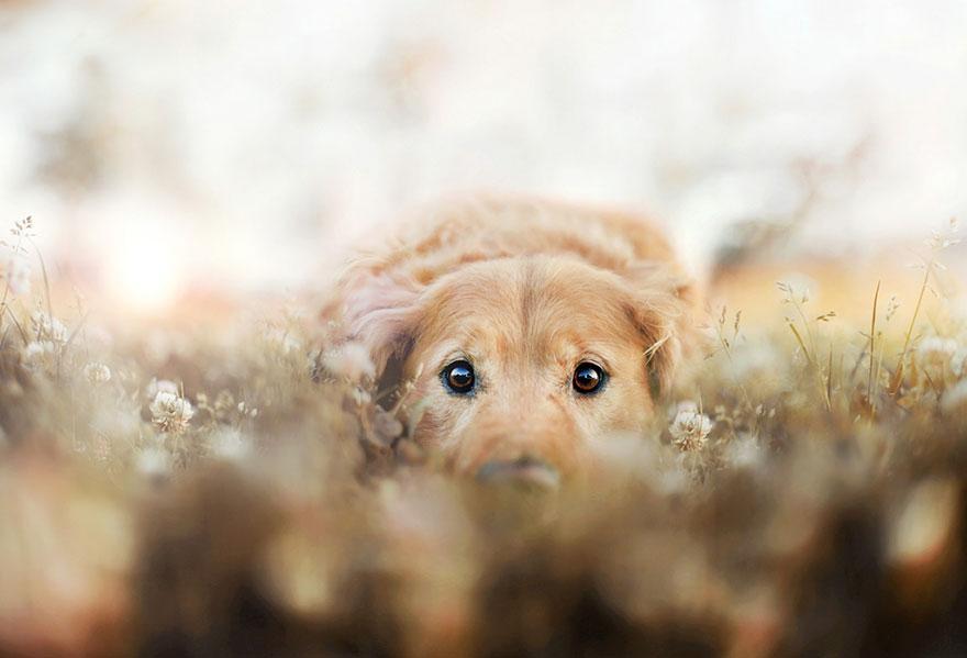 dog-photography-chuppy-golden-retriever-jessica-trinh-6