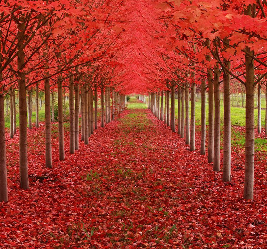 Maple Tunnel, St. Louis, Oregon, U.S.