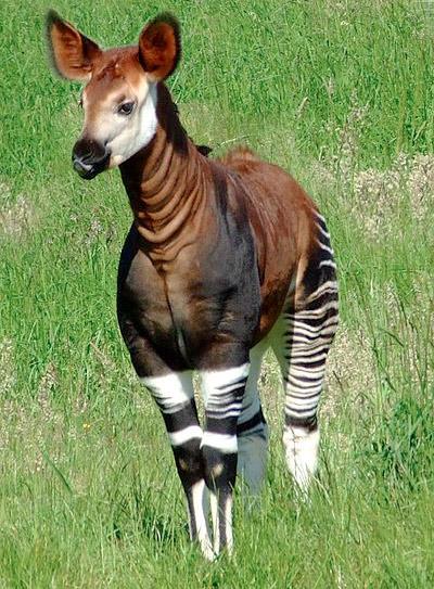 congo okapi ecorazzi.com