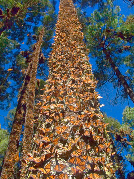 monarch butterflies rdskiing.blogspot.com