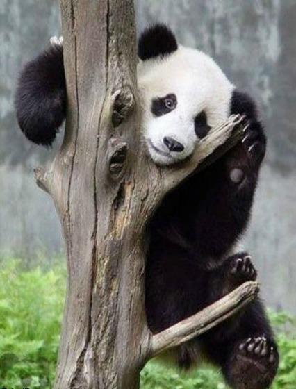 panda reserve 3 x g+
