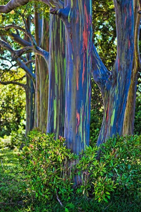 rainbow eucalyptus mindanao philippines 2