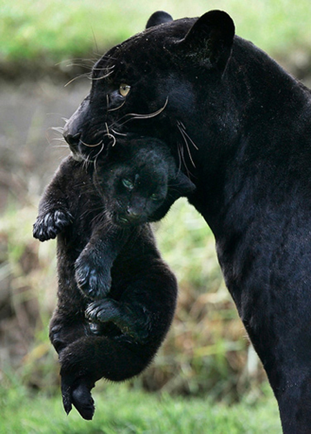 Wild-Black-Panther-Family
