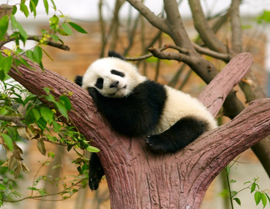 Where to see giant pandas
