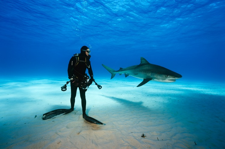 Tiger Shark and diver, Northern Bahamas