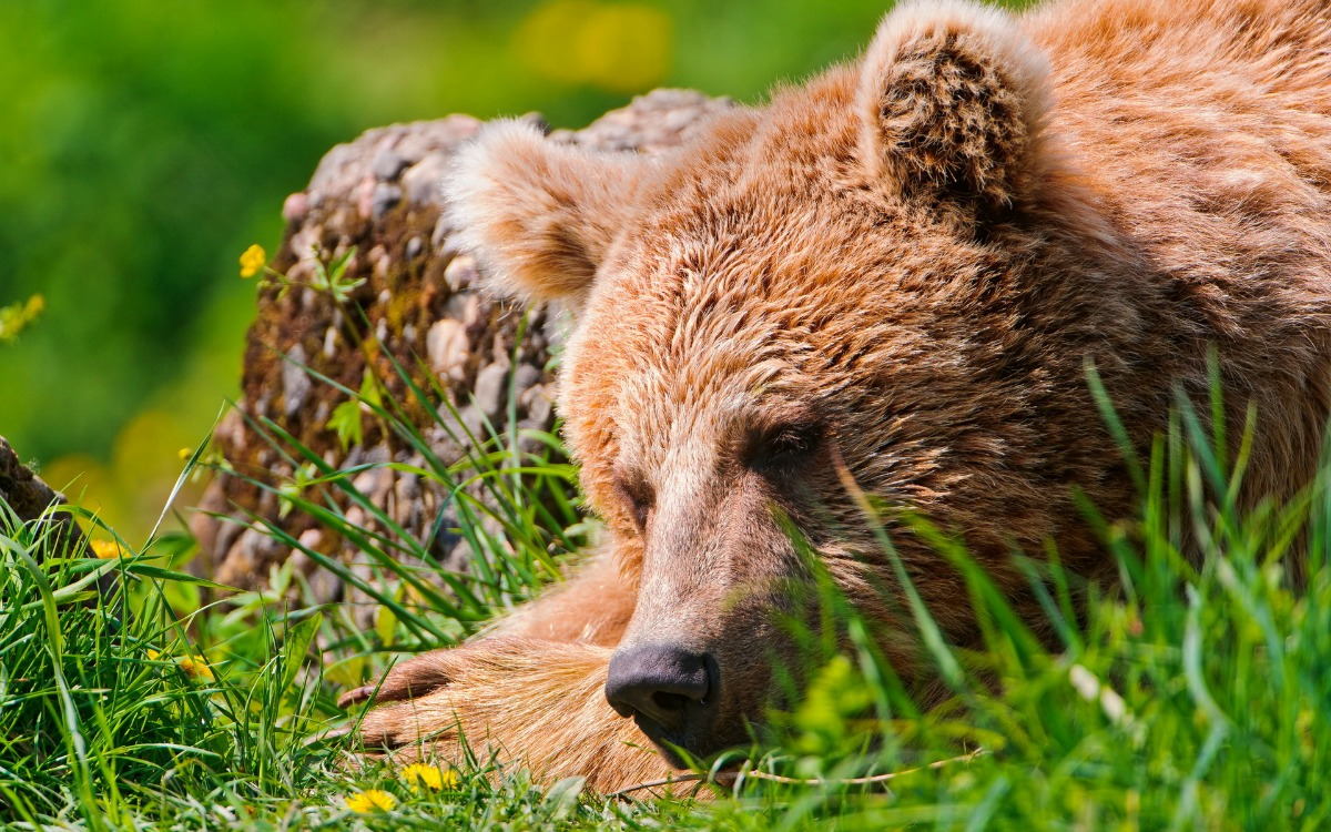 orsa 6Animals_Bears_Slee ping_bear_031758_